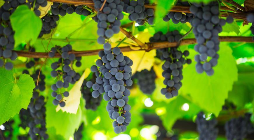 Виноград оказался полезен в борьбе с раком лёгких