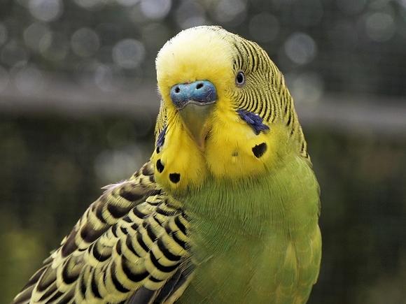 Россиянка ищет новый дом для попугая, пока его не съел дедушка